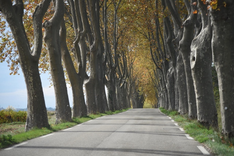 Avenue of Trees - Southern France - by Sue Lowry