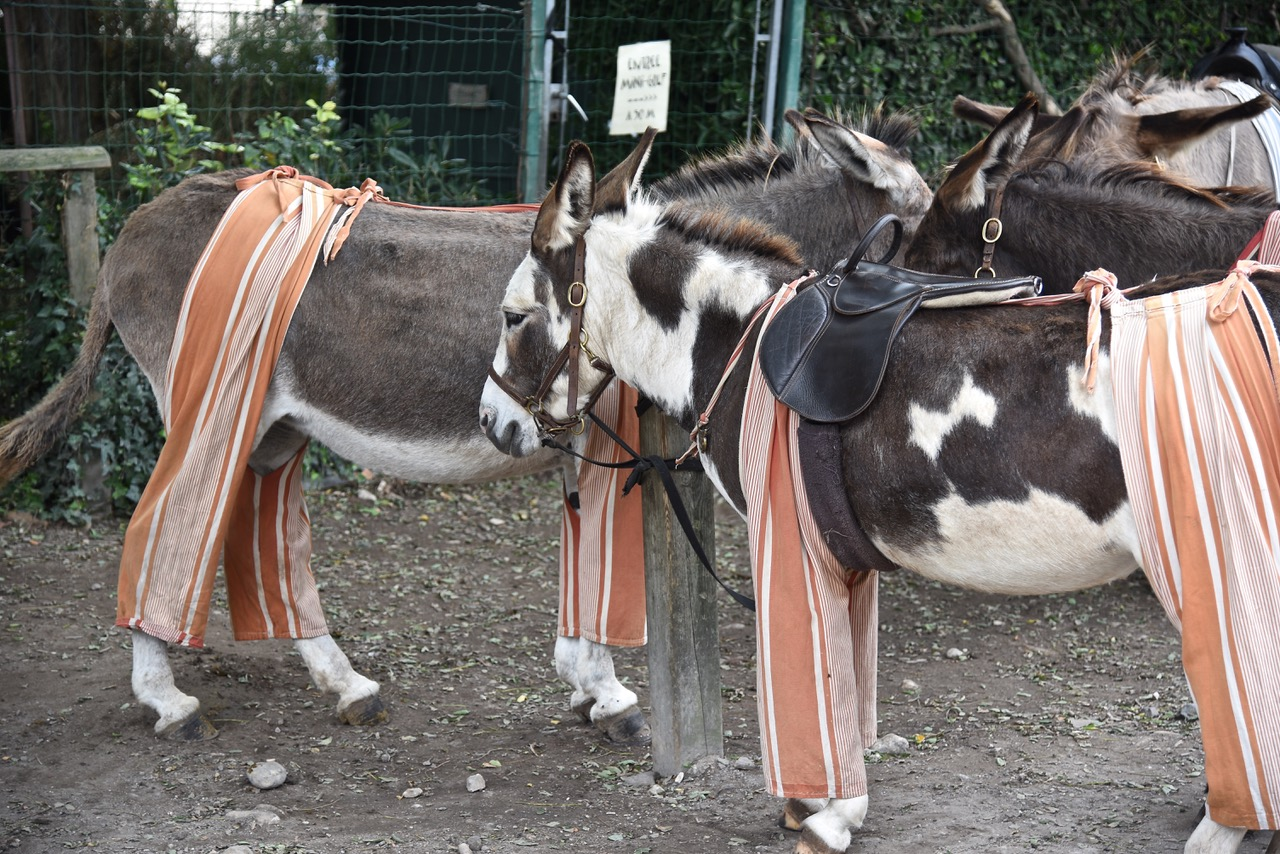 Poitou Donkeys, Ile de Ré, Charentes area of Southwestern France by Sue Lowry